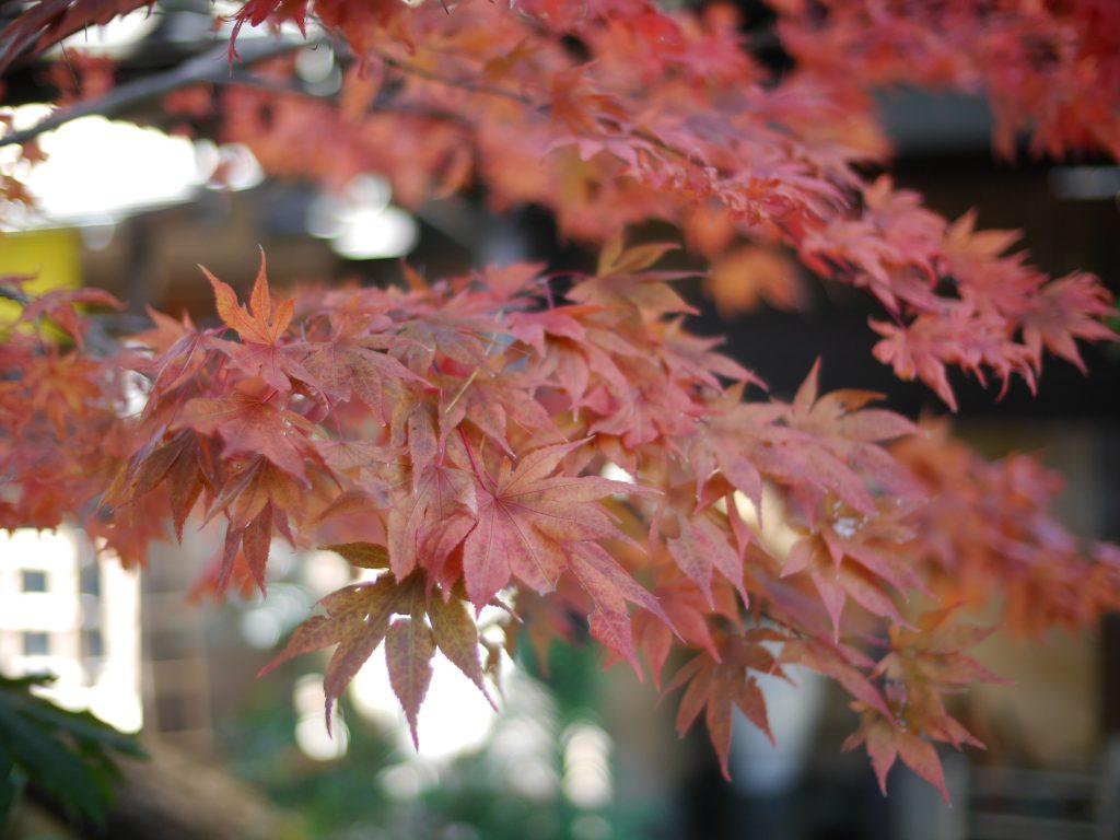 爽やかな赤さの紅葉