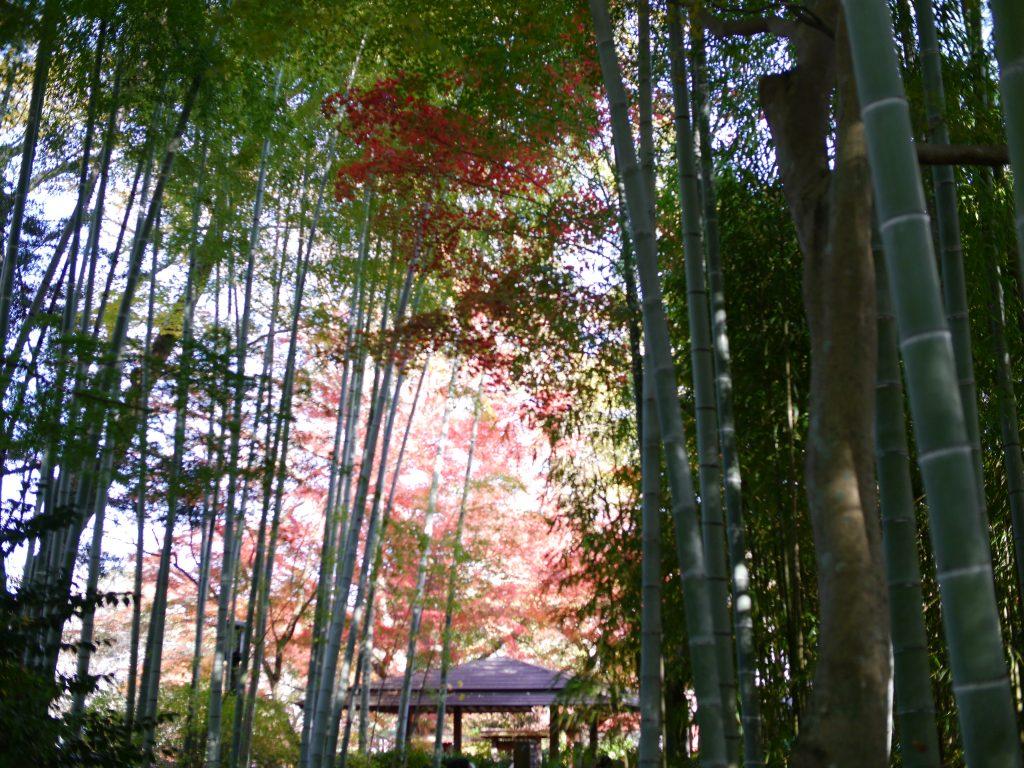 竹林に映える紅葉
