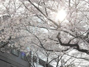 木漏れ日が美しい桜