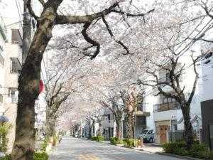 桜のアーチが綺麗な道路