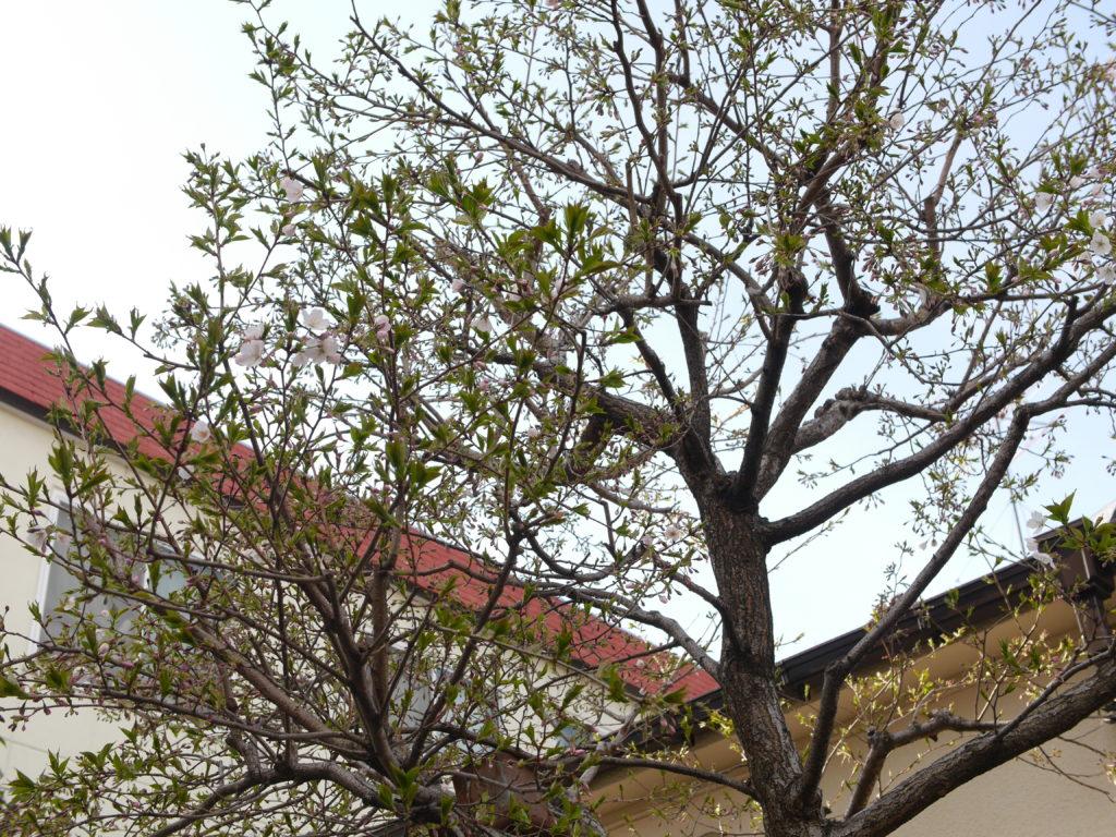 咲き始めの桜と青空