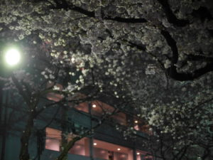 夜に映える桜