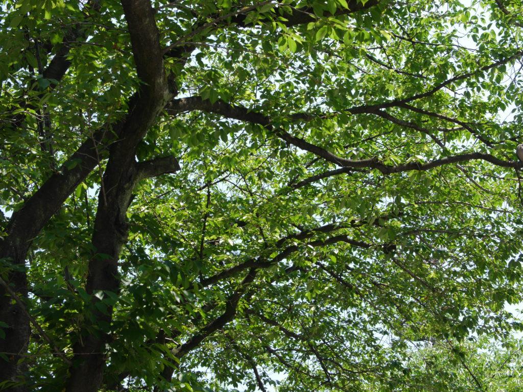 新緑の桜の木