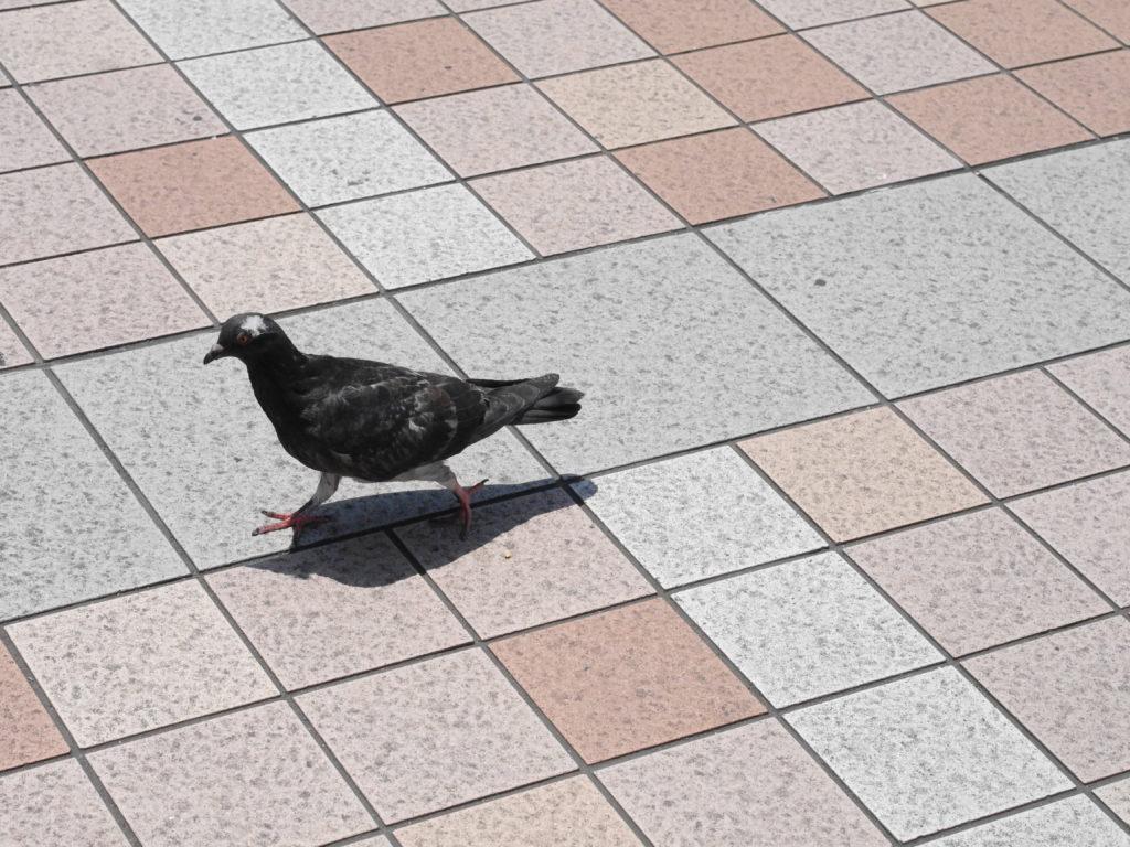 急ぎ足の鳩
