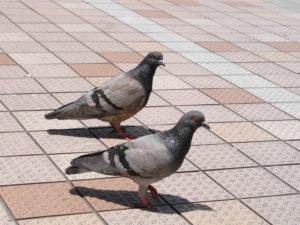足並みが揃った鳩
