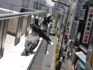 鳩の集会場