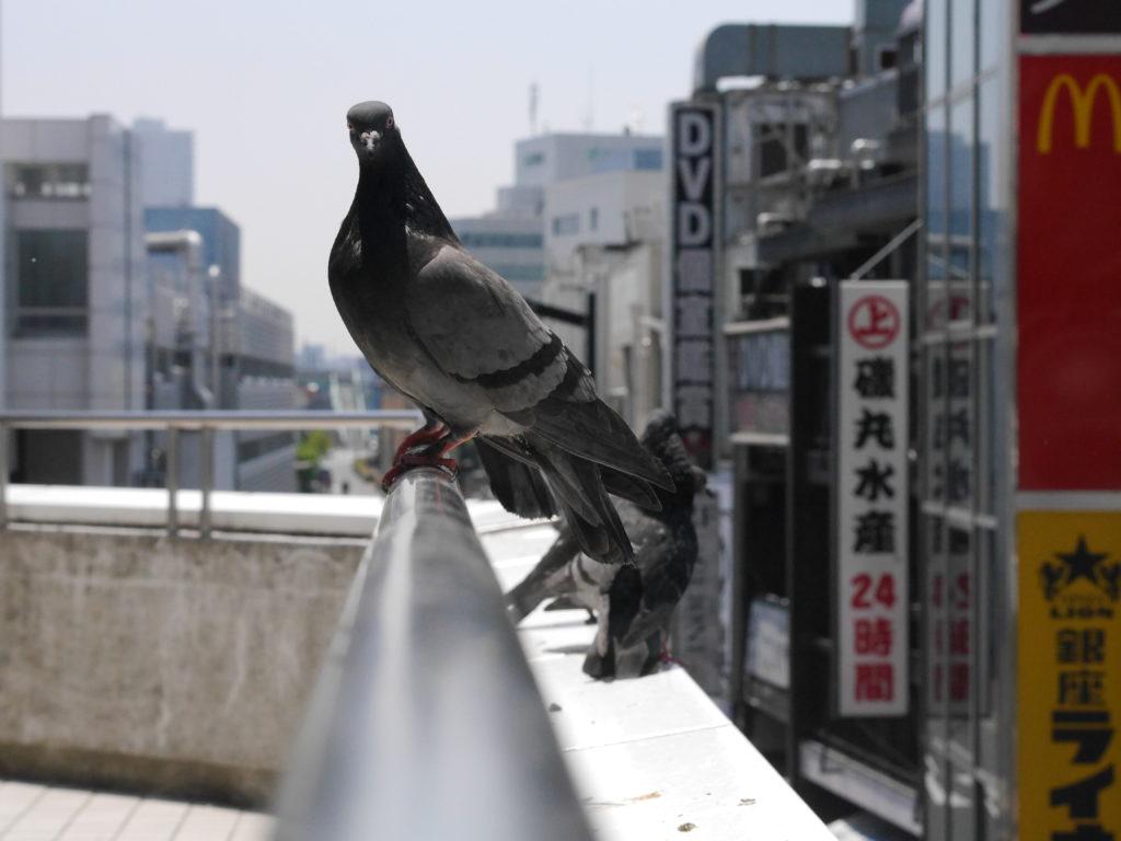 カメラ目線の鳩