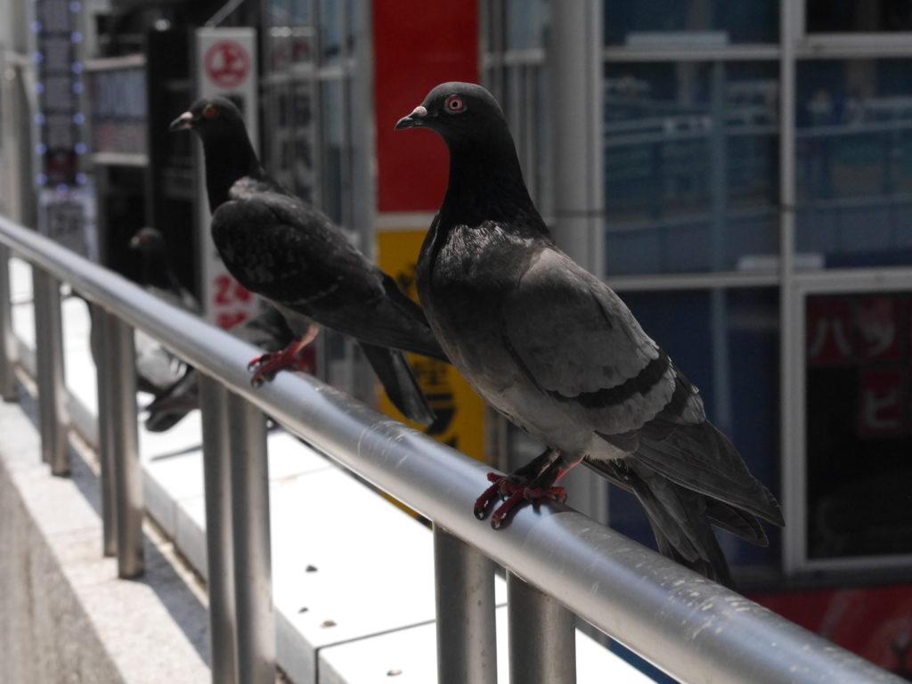 姿勢のいい鳩