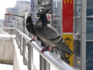 カメラ目線が過ぎる鳩