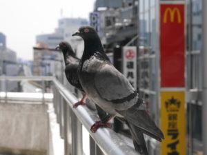凄く姿勢がいい鳩