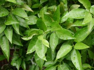緑の葉に残る水滴