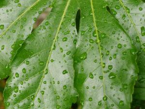 雨に濡れた緑の葉