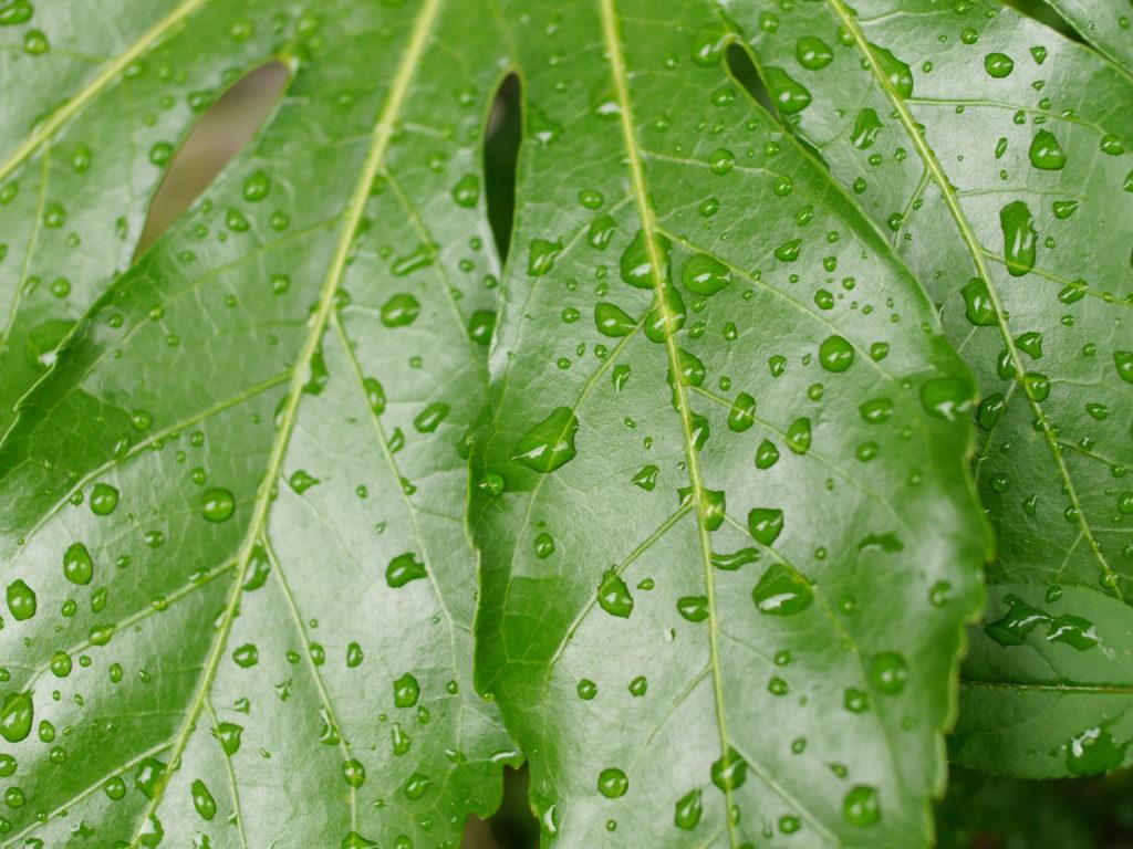 鮮やかな緑の葉の上の水滴
