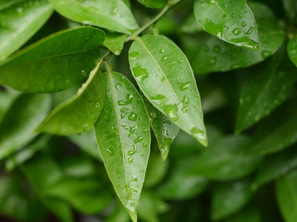 小さな緑の葉の上の水滴