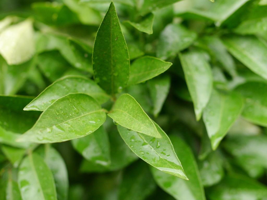 雨に濡れる小さな緑の葉