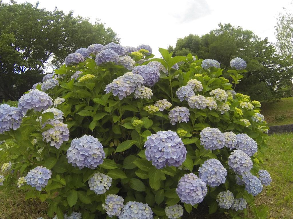 沢山咲く薄い青のあじさい