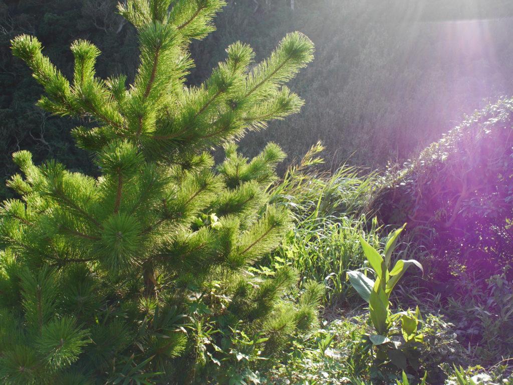 夏の松の木とフレア