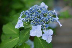 咲きかけの青いあじさい