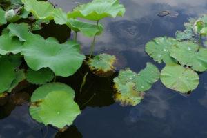 水面の蓮の葉の上の水滴