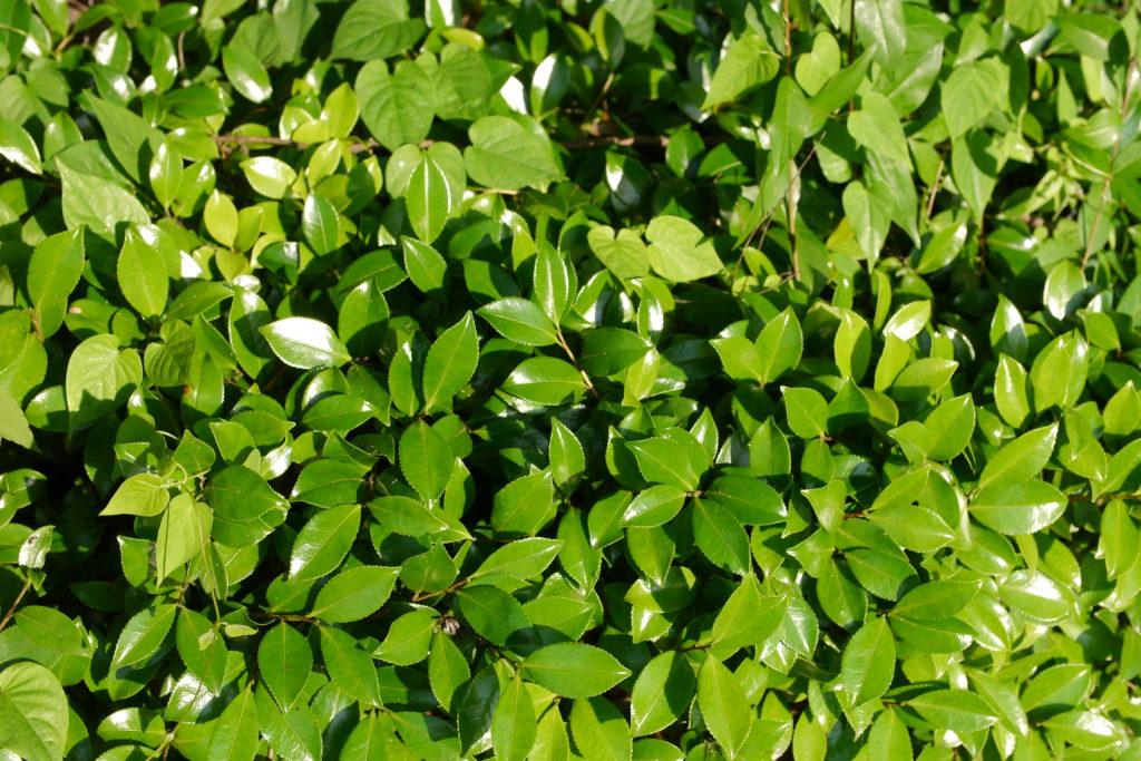 凄いテカテカの葉