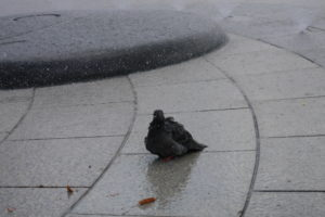 びしょ濡れの鳩