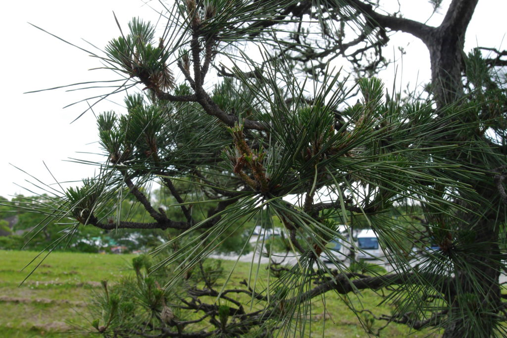 松の木の接写