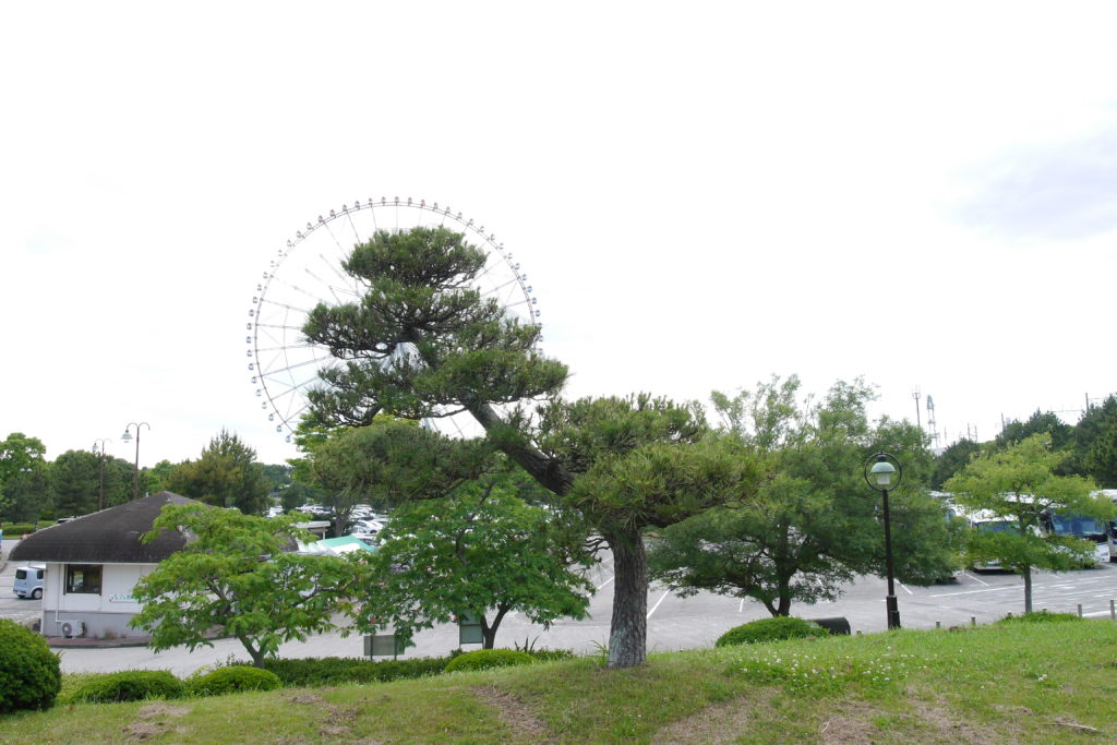 幅広の松の木と観覧車