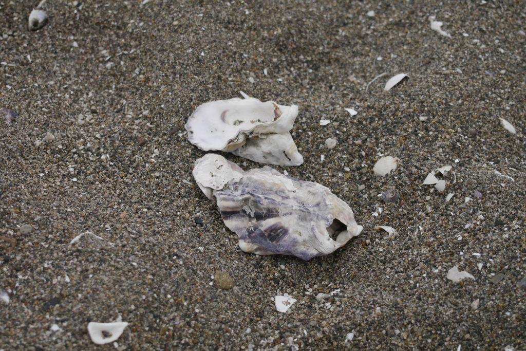 打ち上げられた貝殻
