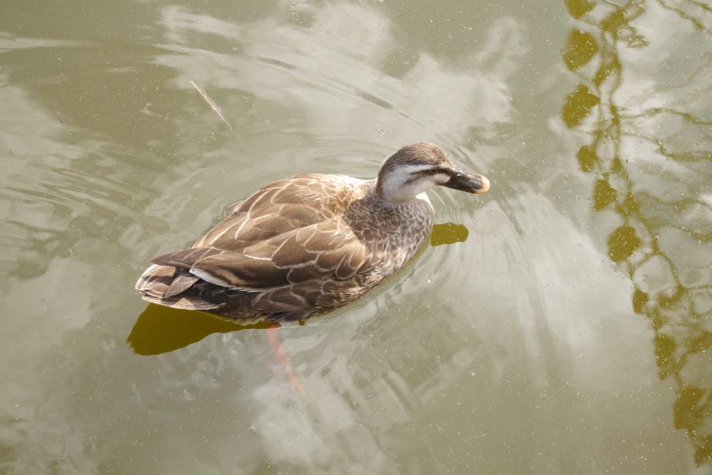 汚い池のを泳ぐカモ