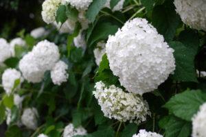 白い紫陽花(あじさい、アジサイ)画像