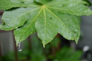 緑の葉から落ちる雨粒