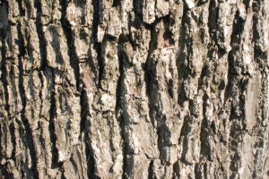 クスノキの木の表面