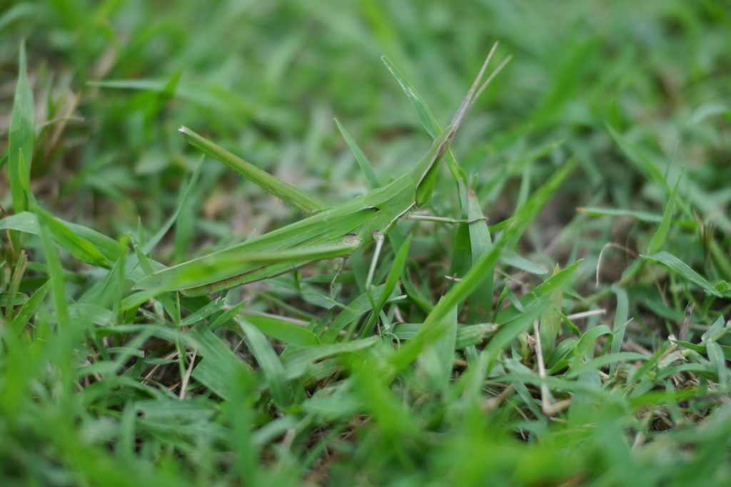 芝生の上の完全に擬態したバッタ