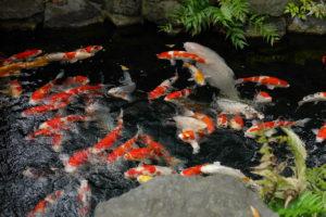 浅草寺の中庭の鯉