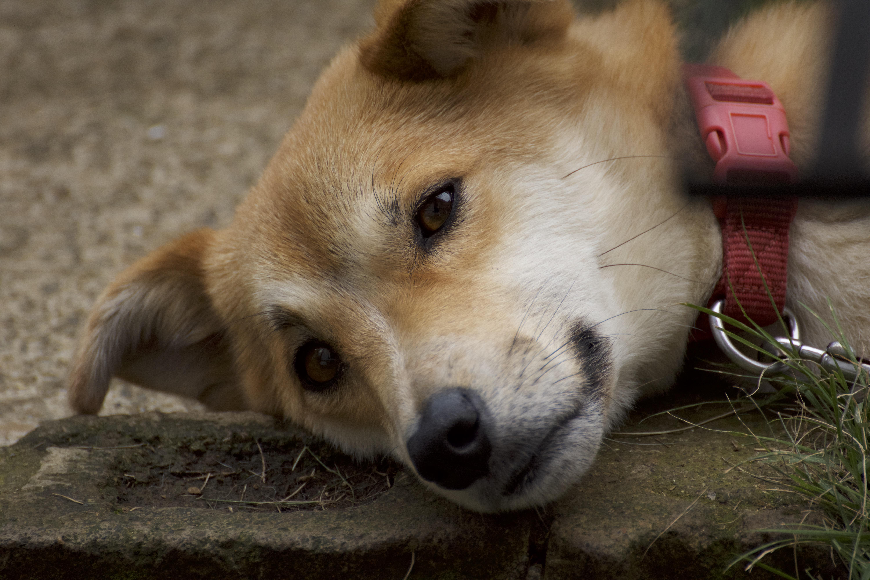人間のような表情のある犬