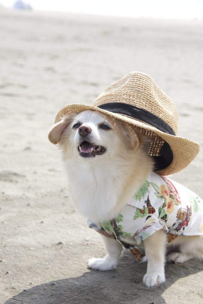帽子をかぶったチワックス