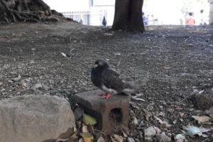 首をすぼめる鳩