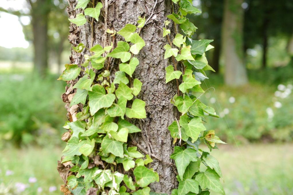 木に絡まるツタ