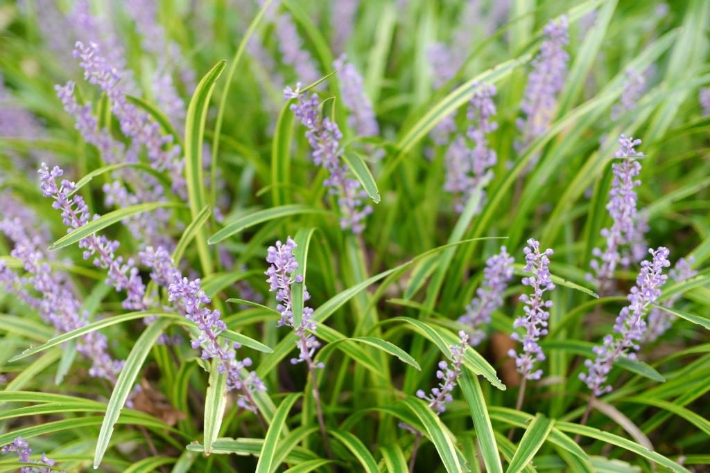 青紫のヤブラン