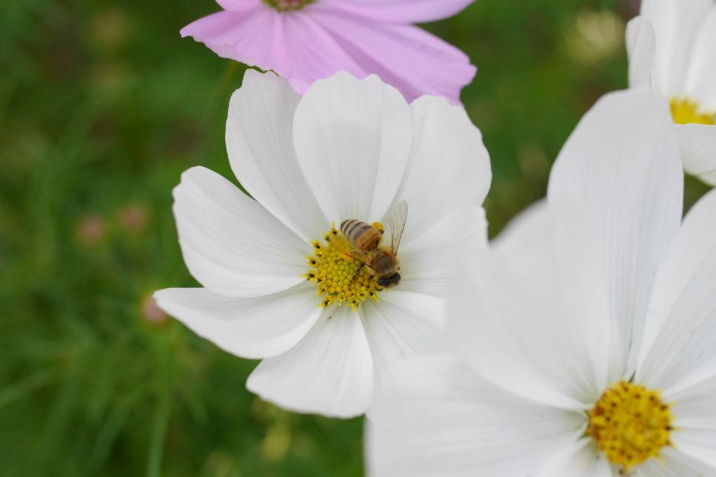 蜜を集める蜂